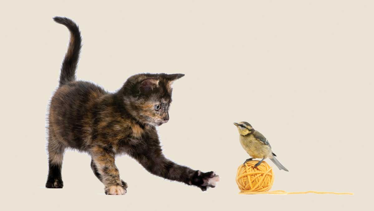 bigstock-Tortoiseshell-Kitten-Playing-W-8258823